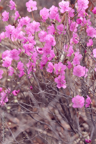 Foto op Canvas Azalea pink azalea