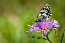 Marbled White Butterfly On A T...