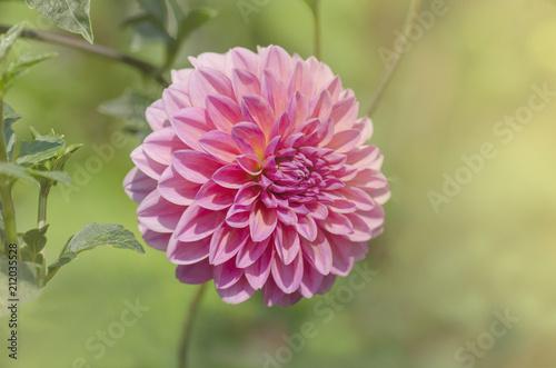 Staande foto Dahlia Pink dahlia blooming
