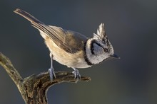 Close Up Of Crested Tit Perchi...