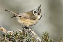 Crested Tit (Parus Cristatus),...
