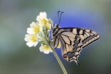 Swallowtail (Papilio Machaon), On Primrose, Tyrol, Austria, Europe