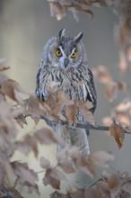 Long-eared Owl (Asio Otus) Sit...