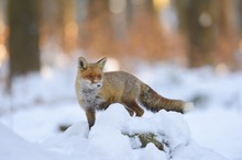 Red Fox (Vulpes Vulpes) Standing On A Snow-covered Tree Trunk, Sunset Light, Bohemian Forest, Czech Republic, Europe