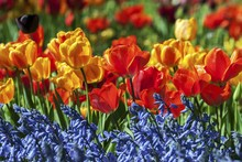 Blooming Tulips (Tulipa Sp.) With Grape Hyacinths (Muscari), Baden-Wurttemberg, Germany, Europe