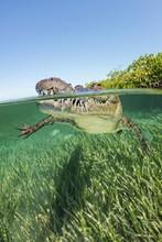 American Crocodile Swimming In Ocean