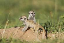 Suricates (Suricata Suricatta), Two Young Animals At Burrow, During The Rainy Season In Green Surroundings, Kalahari Desert, Kgalagadi Transfrontier Park, South Africa, Africa