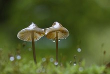 Ivory Bonnet Mushroom With Dew Drops, Mycena (Mycena Spec.), Hesse, Germany, Europe