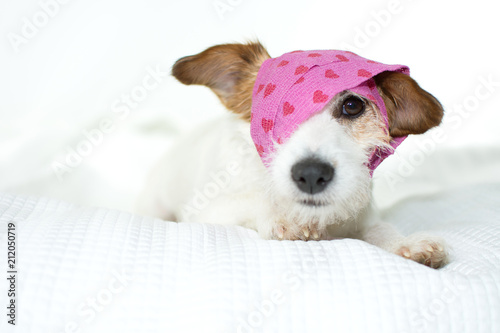 Fotografia  CUTE SICK JACK RUSSELL DOG WITH A PINK HEART BANDAGE ON WHITE BED