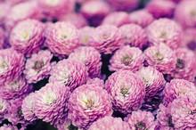 Pink Chrysanthemum Flowers Macro Image, Floral Vintage Background