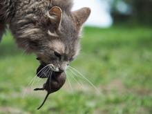 The Cat Caught The Mouse. Natu...