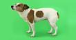 Leinwandbild Motiv Portrait nice dog is afraid and trembling. Jack Russell Terrier standing on green background