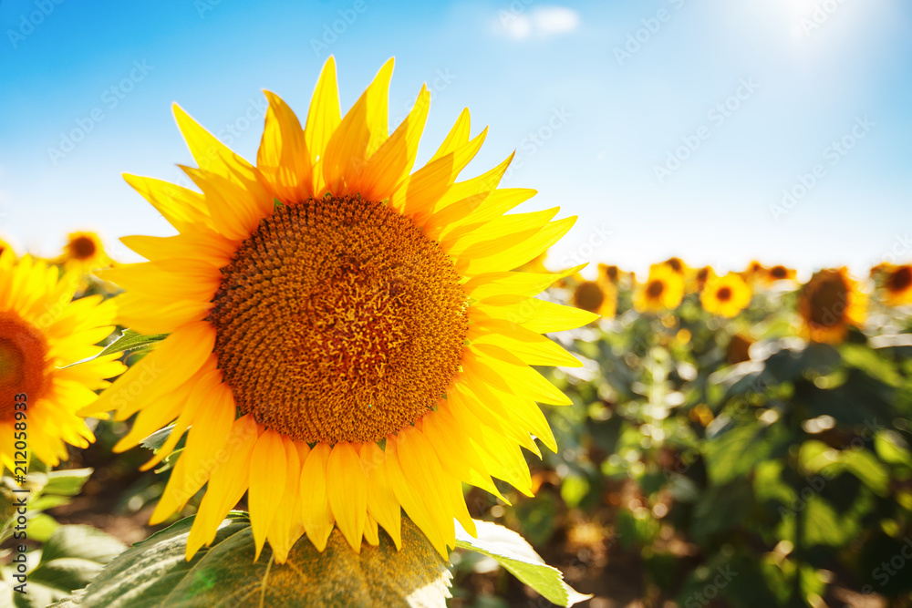 Fototapety, obrazy: Beautiful field of sunflowers. Rural landscapes under bright sunlight. Background of ripening sunflower. Rich harvest.