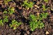 Fresh parsley growing in garden.