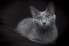 Portrait Of A Russian Blue Cat...