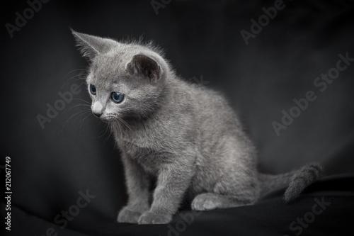 Zdjęcie XXL Portret Rosyjski błękitny kota szczeniak na ciemnym tle