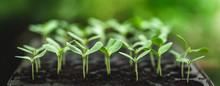 Sapling Young Plant Melon Ten ...
