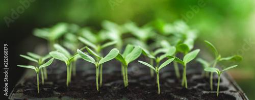 Fotografia Sapling young plant melon Ten days Green nature
