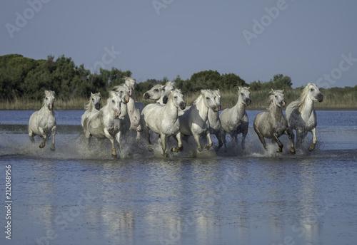 Herd of White Horses Running Through the Water in Camargue, France Fototapeta