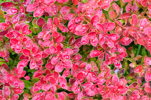 Foto op Canvas Candy roze berberis tunbergii Golden Ring