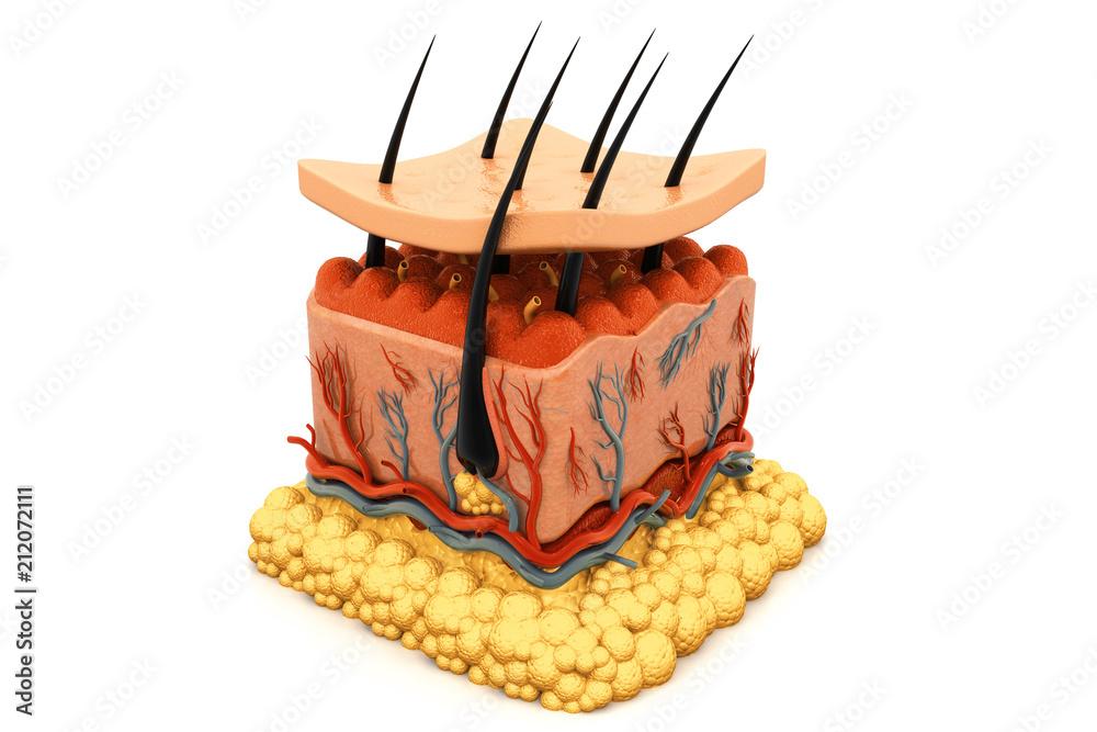 Fototapeta Human skin anatomy
