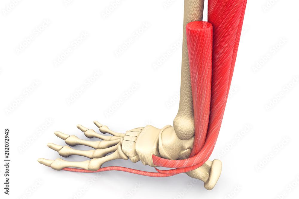 Human Foot Muscles Anatomy Foto Poster Wandbilder Bei Europosters