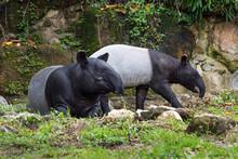 The Family Of Tapir In The Atm...
