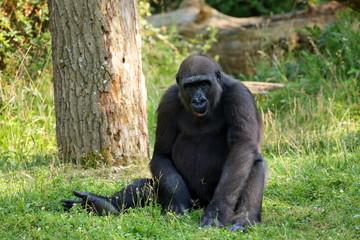Gorilla bei entspannen