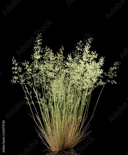 Fotomural Wild flowering grass (Poa annua)