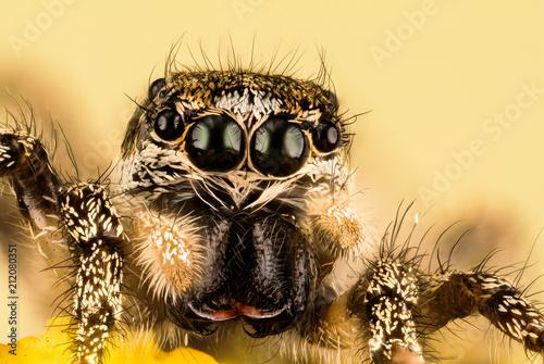 Photo sur Toile Croquis dessinés à la main des animaux Jumping Spider, Zebra Back Spider, Spider, Salticus scenicus, Salticidae