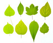 Variety of types of green leaves isolated on a white background.