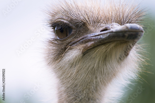Staande foto Struisvogel funny ostrich head close-up on a summer farm