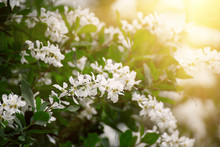 White Flowers Blossoming In Spring Time, Natural Vintage Background