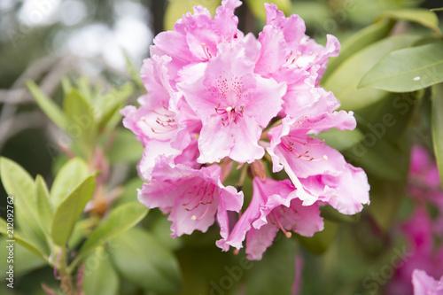 Tuinposter Azalea bright pink flower