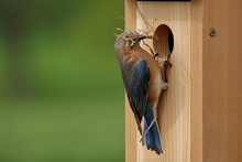 A Pair Of Eastern Bluebirds Br...