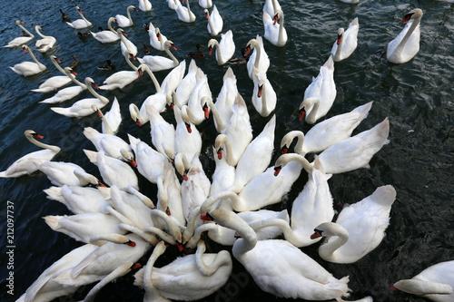 Fotografie, Obraz белые лебеди живут на озере