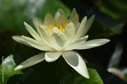 Canvas Prints Water lilies beautiful water lily in the pond
