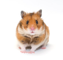 Cute Funny Syrian Hamster (iso...