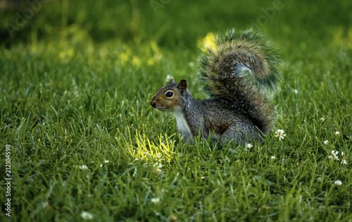 Keuken foto achterwand Eekhoorn Squirrel in the grass