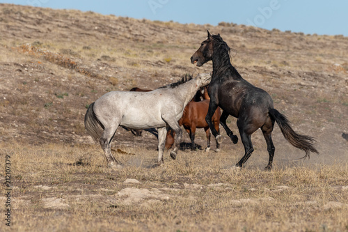 Photo  Wild Horse Stallions Fighting