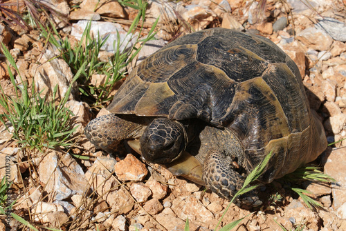Fotografie, Obraz  The amphibian turtle crawls on the ground