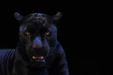 Fototapetablack panther shot close up with black background