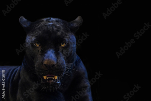 Photo sur Toile Panthère black panther shot close up with black background