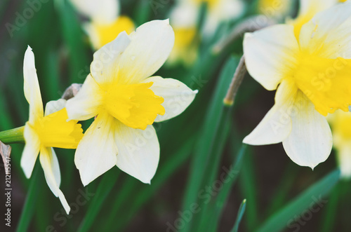 Papiers peints Narcisse Narcissus flower. Narcissus daffodil flowers and green leaves background.