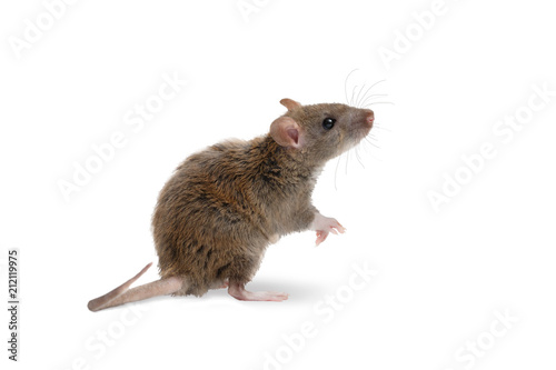 close-up young rat   (Rattus norvegicus) stands on its hind legs and looking up. isolated on white background