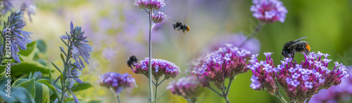 Photo sur Toile Bee bumblebees on garden flowers close up - macro photo