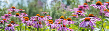 The Panoramic View - Echinacea...