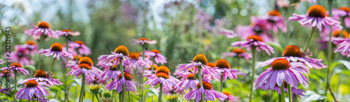 Poster Jardin The panoramic view - Echinacea - coneflowers close up