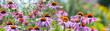 Leinwandbild Motiv The Echinacea flowers - coneflowers close up in the garden