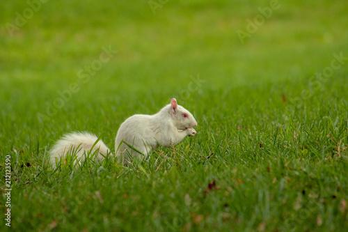 Fotografie, Obraz  Albino Squirrel